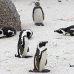 Penguins (Boulders Beach)